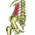 Quadratus Lumborum Muscles