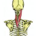 Spenius Muscles